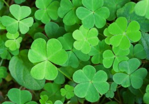 Green background with three-leaved shamrocks. St.Patrick's day holiday symbol. Shallow depth of field, focus on biggest leaf.