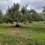 Loaded apple trees in the orchard.